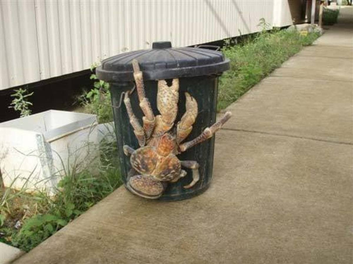 Largest Crab According to wikipedia, the coconut crab, Birgus latro, is the largest land-living arthropod in the world. The coconut crab has body length of up to 16 in (40 cm), weight 9 lbs (4.1 kg), and a leg span of more than 3 ft (91 cm), with mal