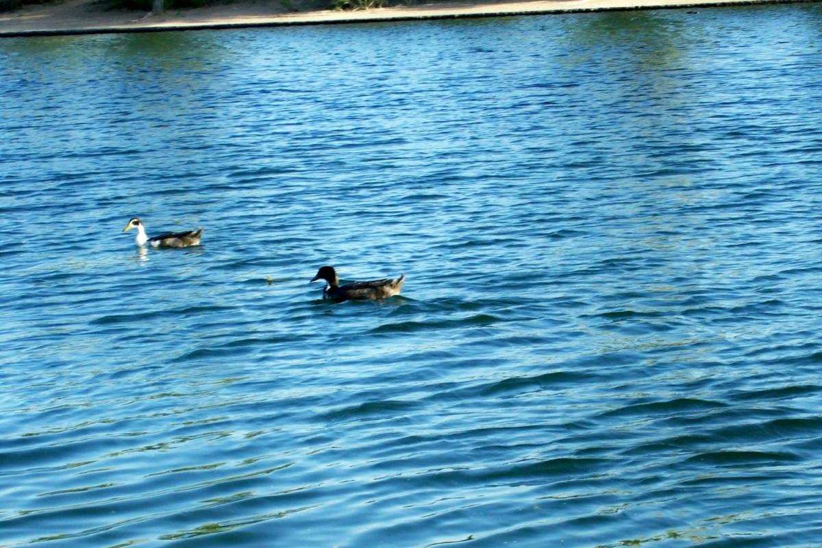 Riverview Park Lake Ducks