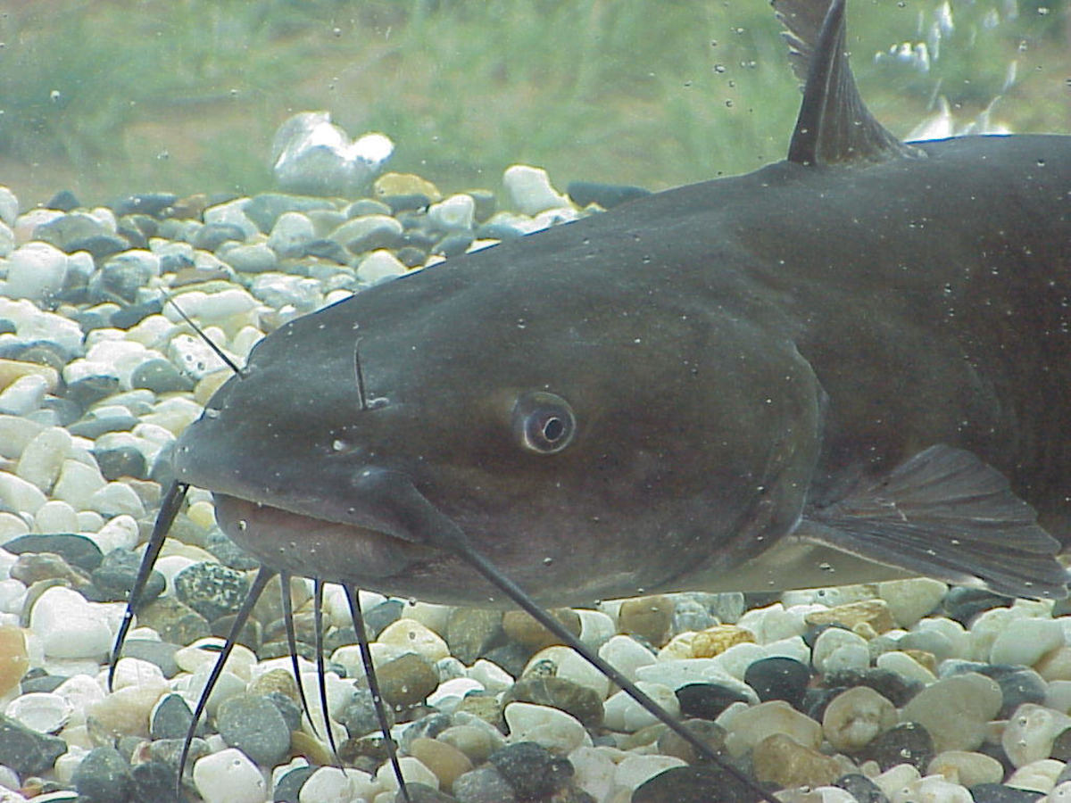 The channel catfish is featured at Phoenix area park lakes and ponds.