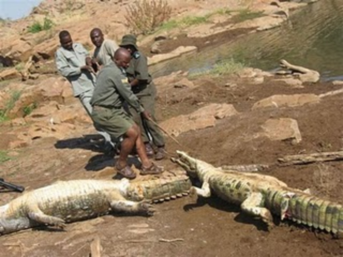 Clean up: Rangers take crocodile corpses away to be burned