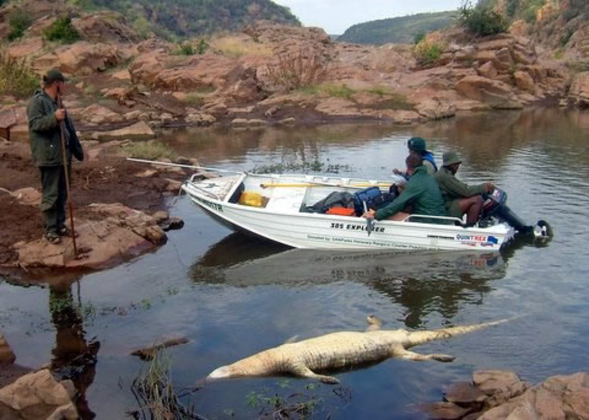 Dead: Crocodiles killed by pansteatitis floating in the river