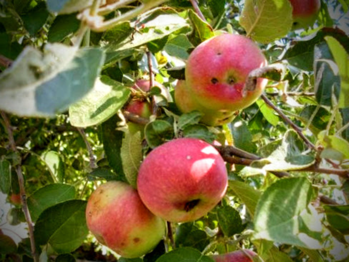 Unknown variety of sweet-tart apples growing on a friend's property in northeastern Colorado. Which older variety would you say they look like?