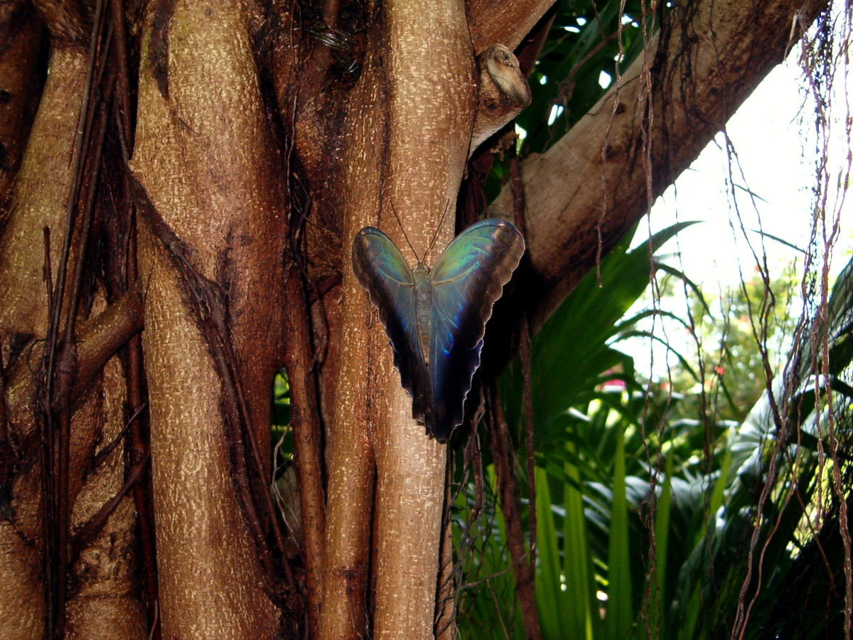Look at the beautiful creamy colors of blues and greens on the other side of the owl butterflies wings!  The butterflies can flash these colors for identification purposes as needed.