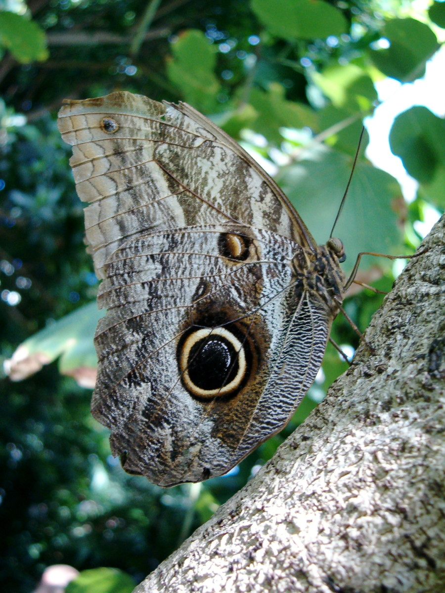 An own butterfly resting on a tree branch.  With its wings closed, you can see the eye spots on the wings of this amazing butterfly.