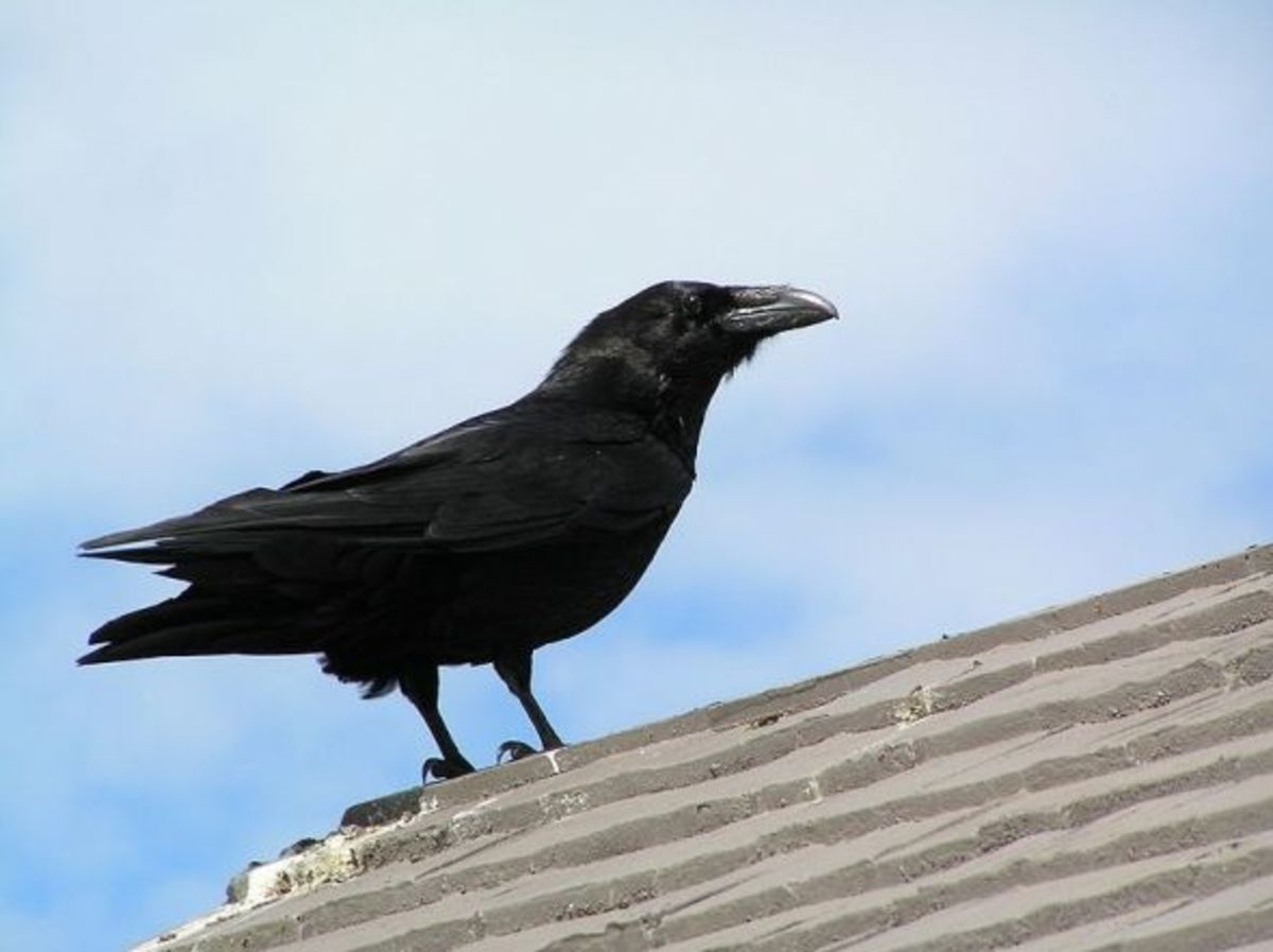 Raven on Rooftop