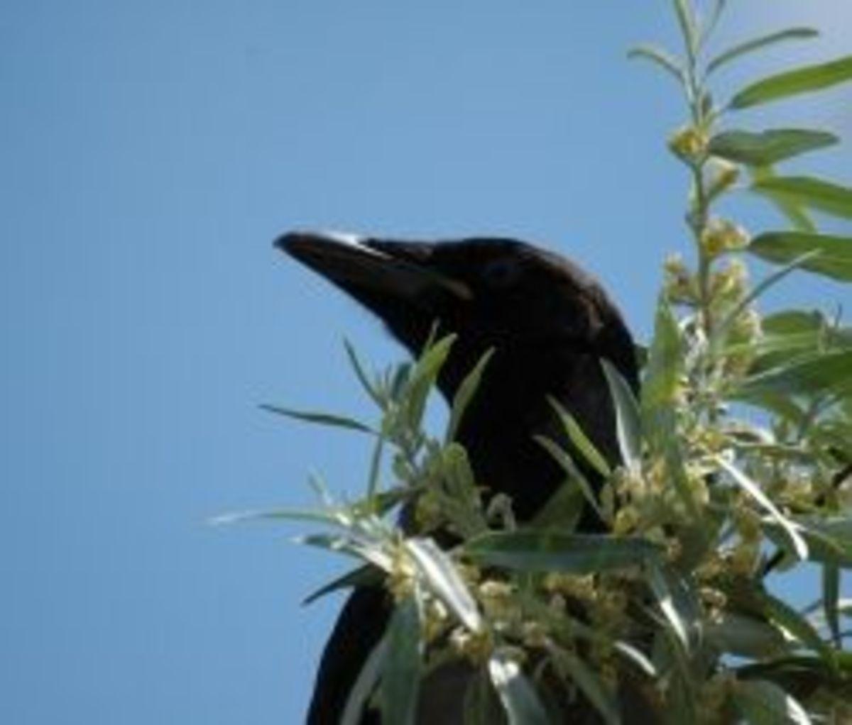 raven-symbolism-lore