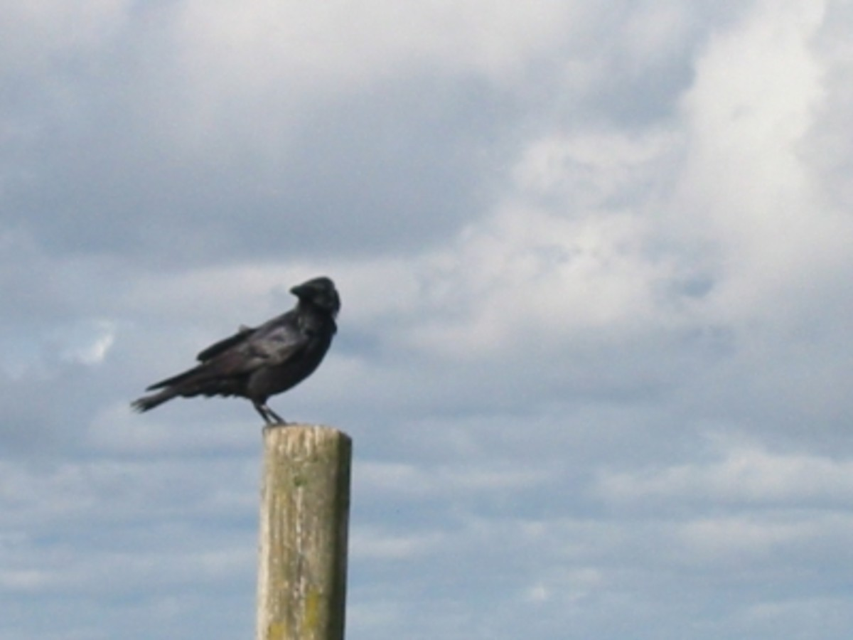 Much Folklore surrounds the Enigmatic Raven