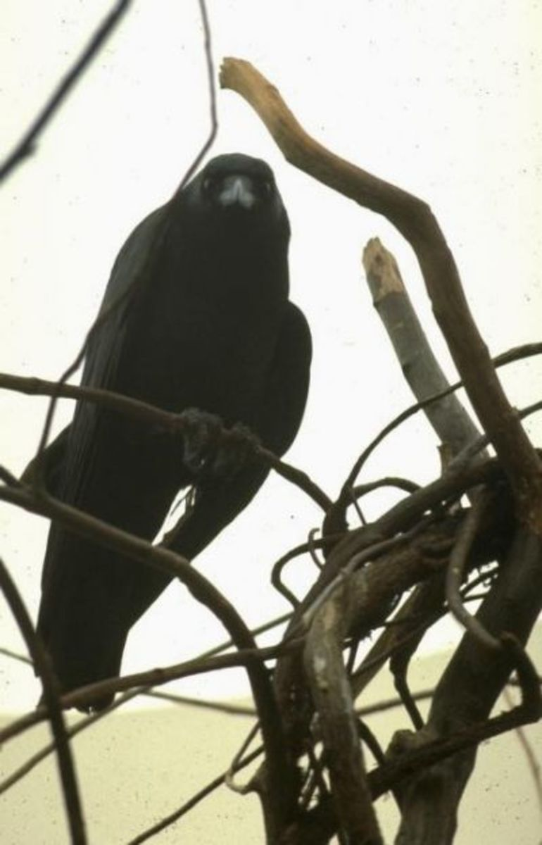 Raven is considered both a good and bad omen according to different cultures