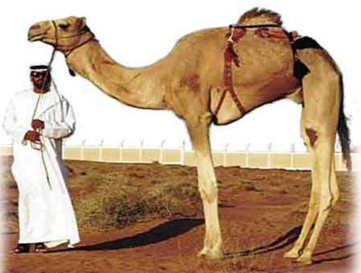 Camels for Transportation