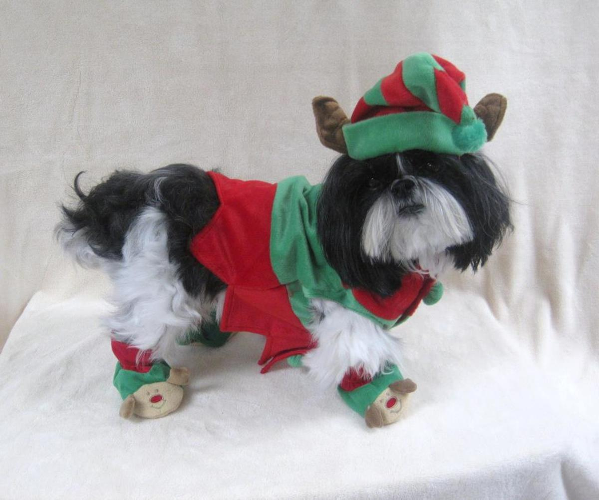 Shih Tzu all dressed up for Christmas