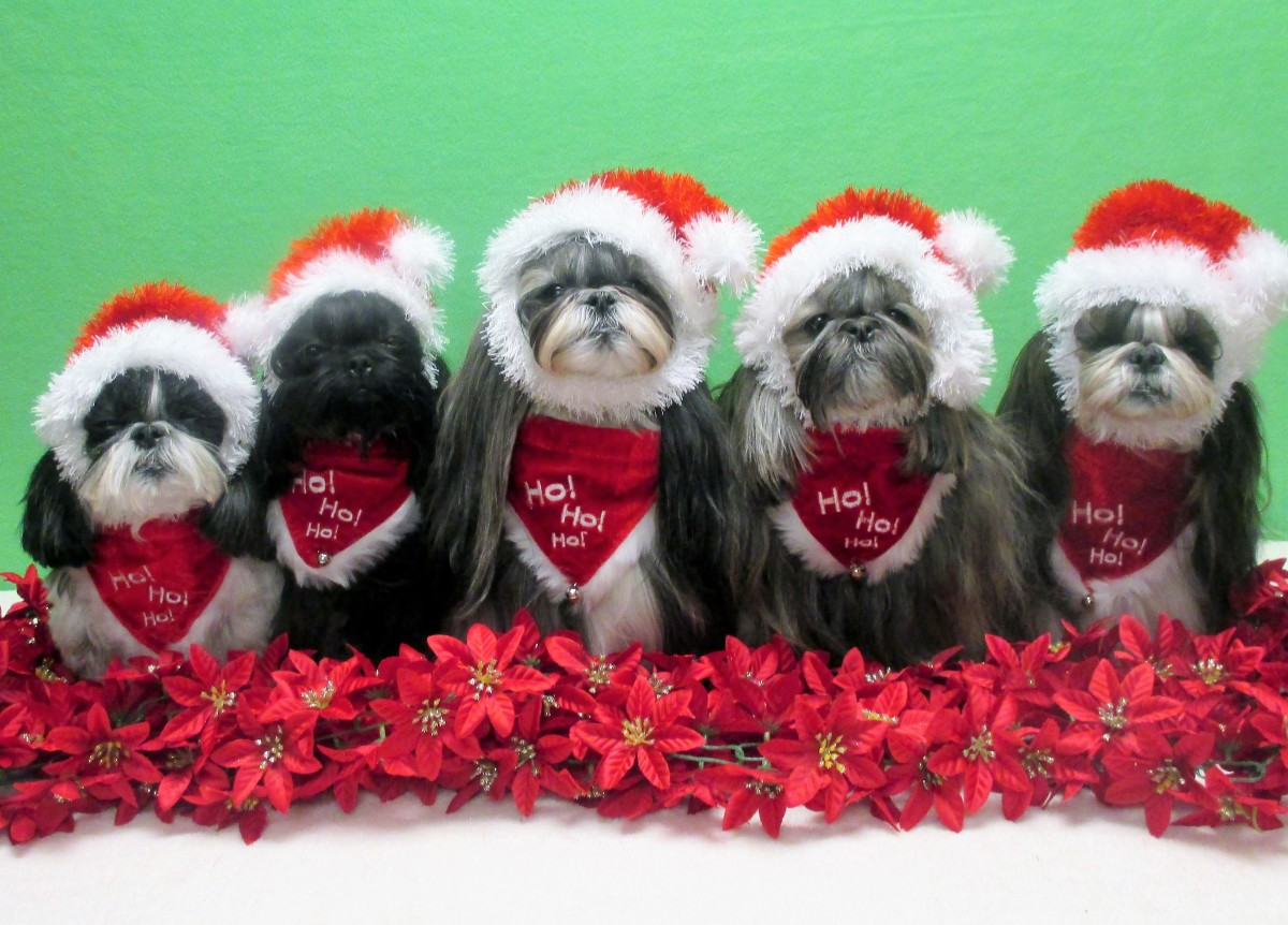 Shih Tzu doggies all dressed up for Christmas