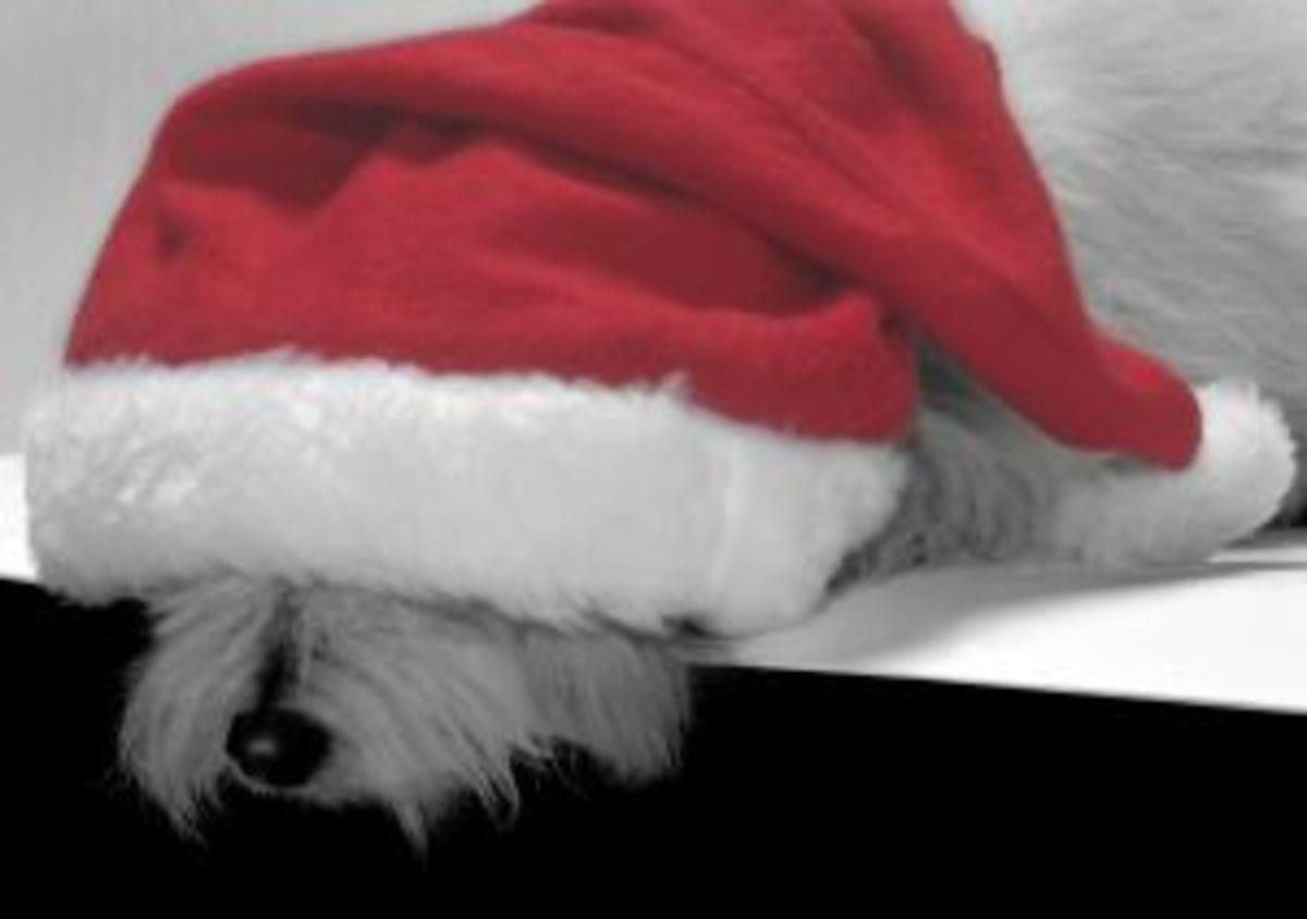 Sleeping Poodle in a Santa Hat