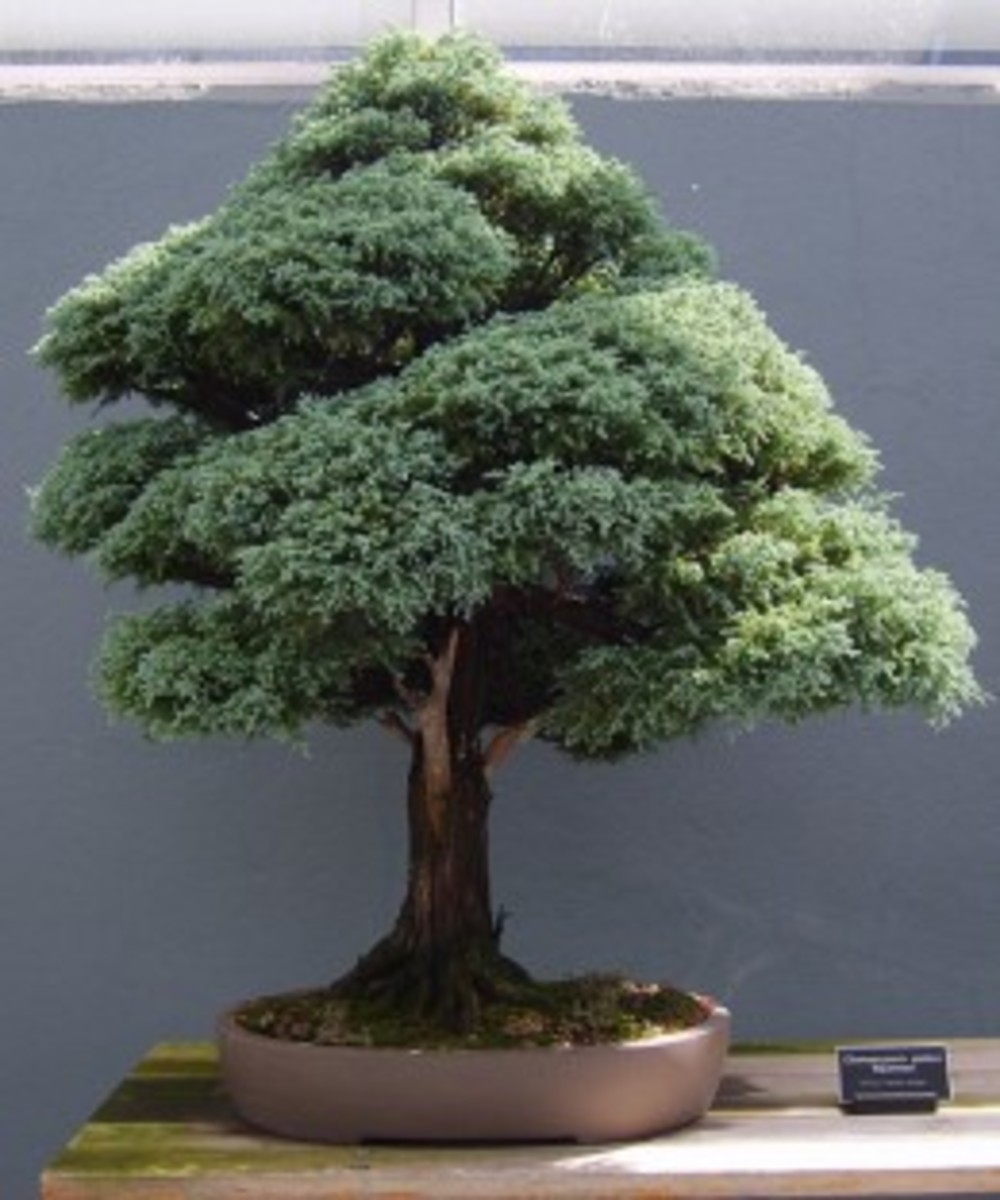 Upright or Chokkan Style Bonsai