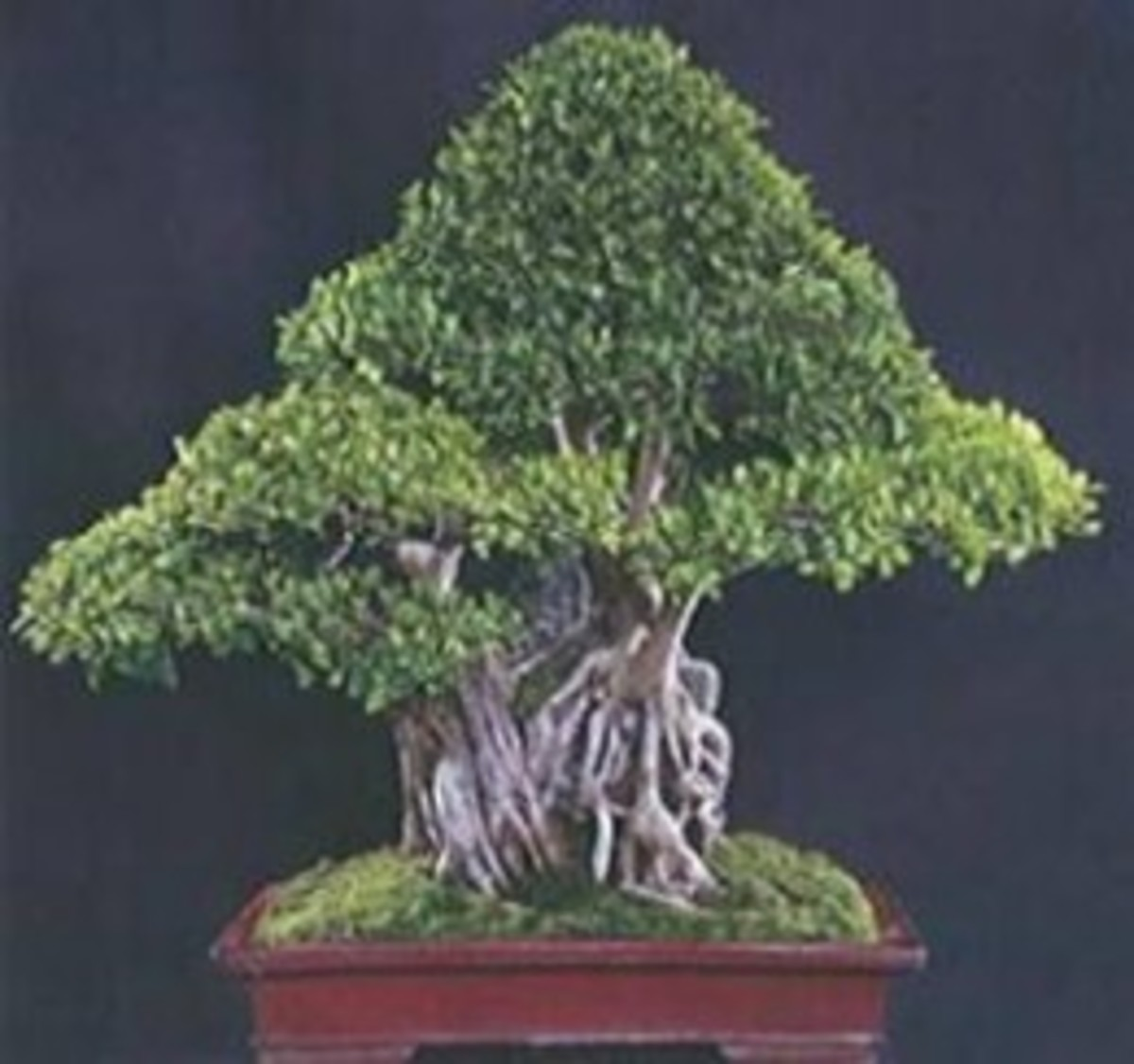 Clasped to the Stone Style Bonsai