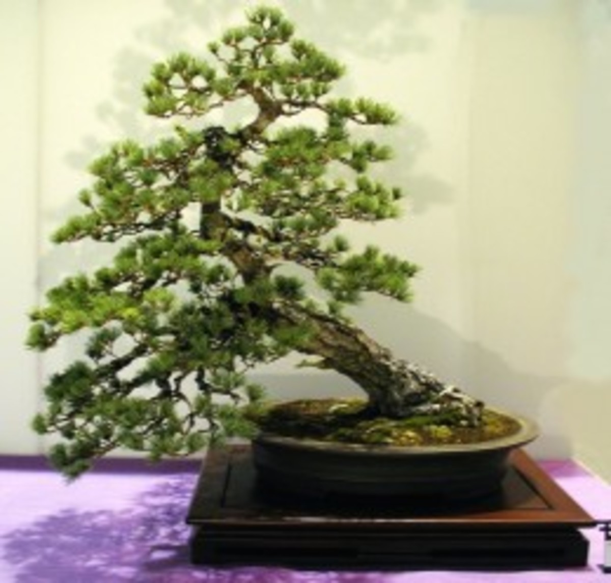 Gnarled or Hankan Style Bonsai