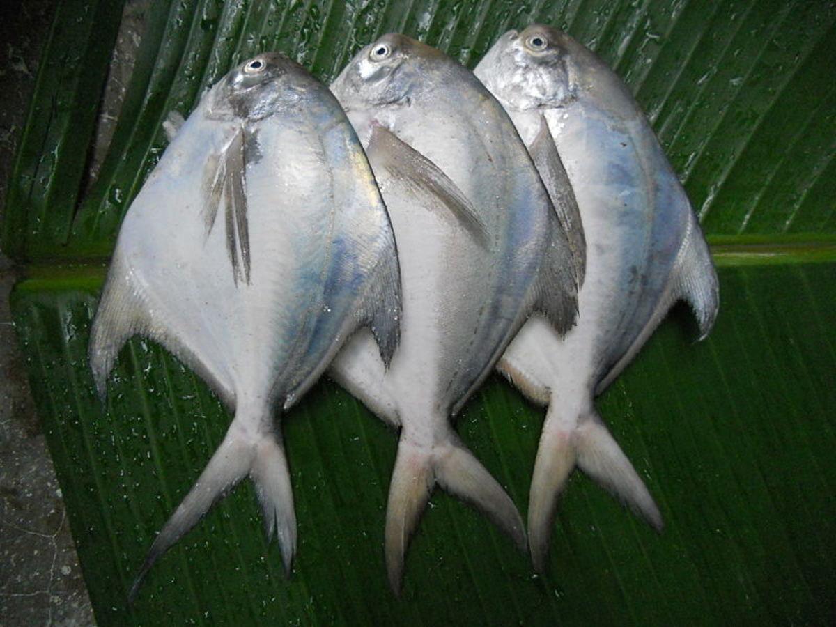 Silver Pomfret Fish, delicate soft white flesh