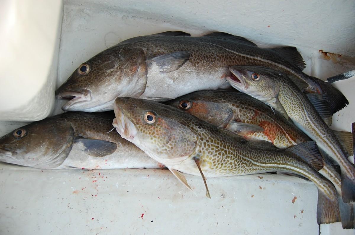 Freshly caught Cod Fish For Dinner