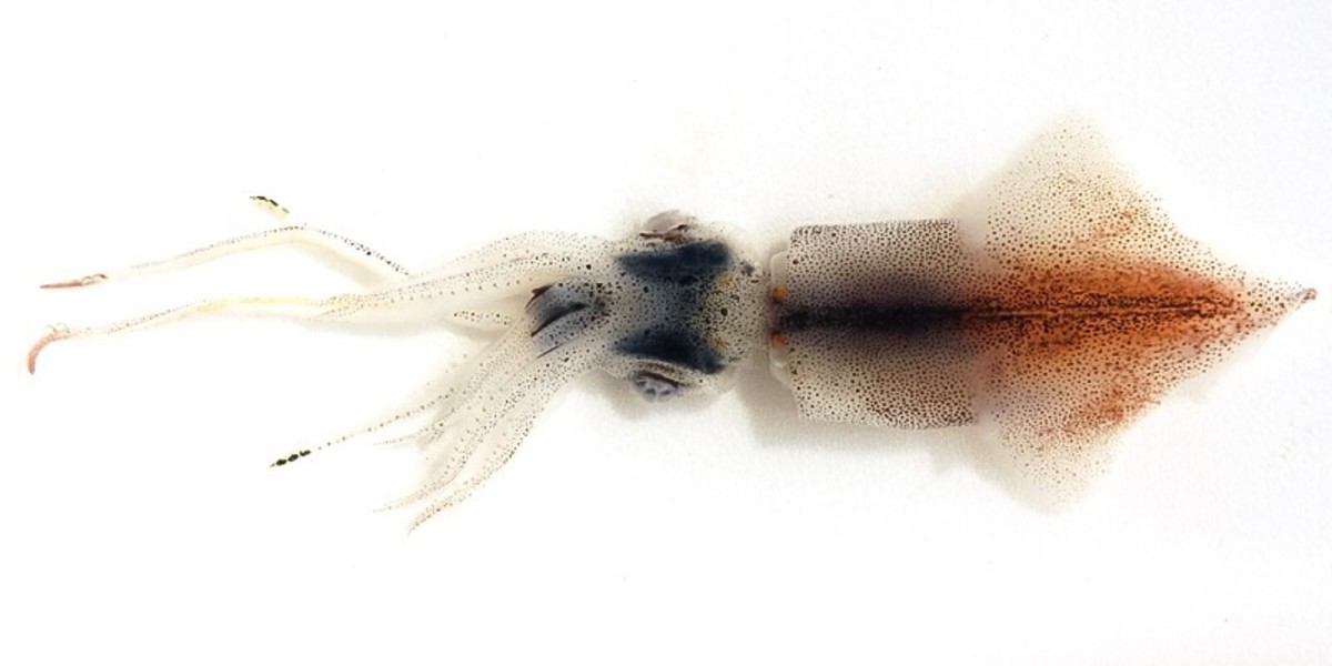 The firefly squid, sparkling enope squid or hotaru-ika has numerous photophores. It's admired for its bioluminescence and is also used as food.