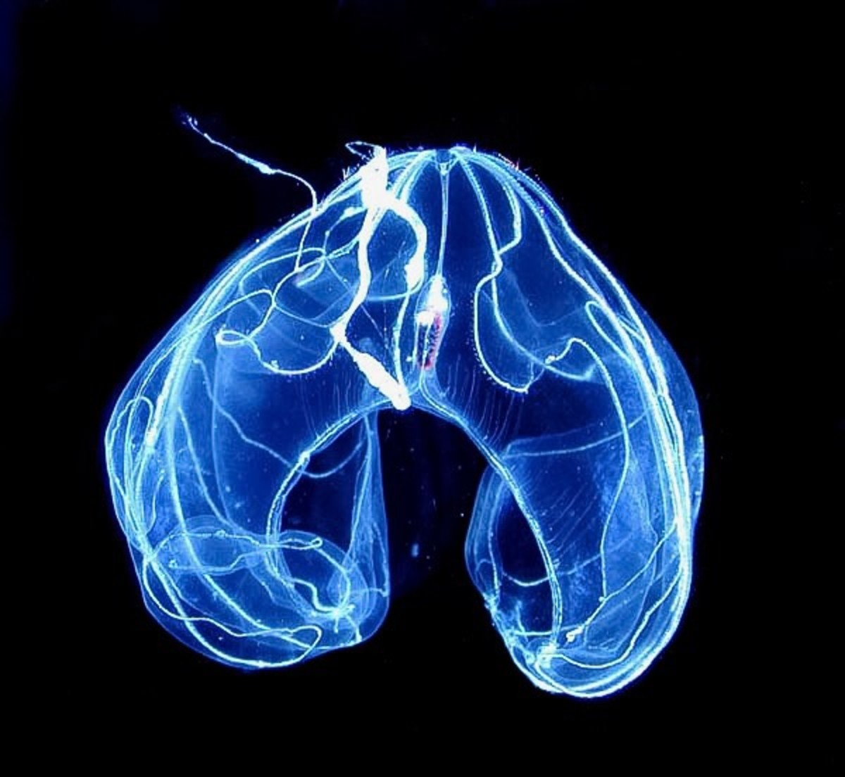 A bioluminescent ctenophore in the deep ocean