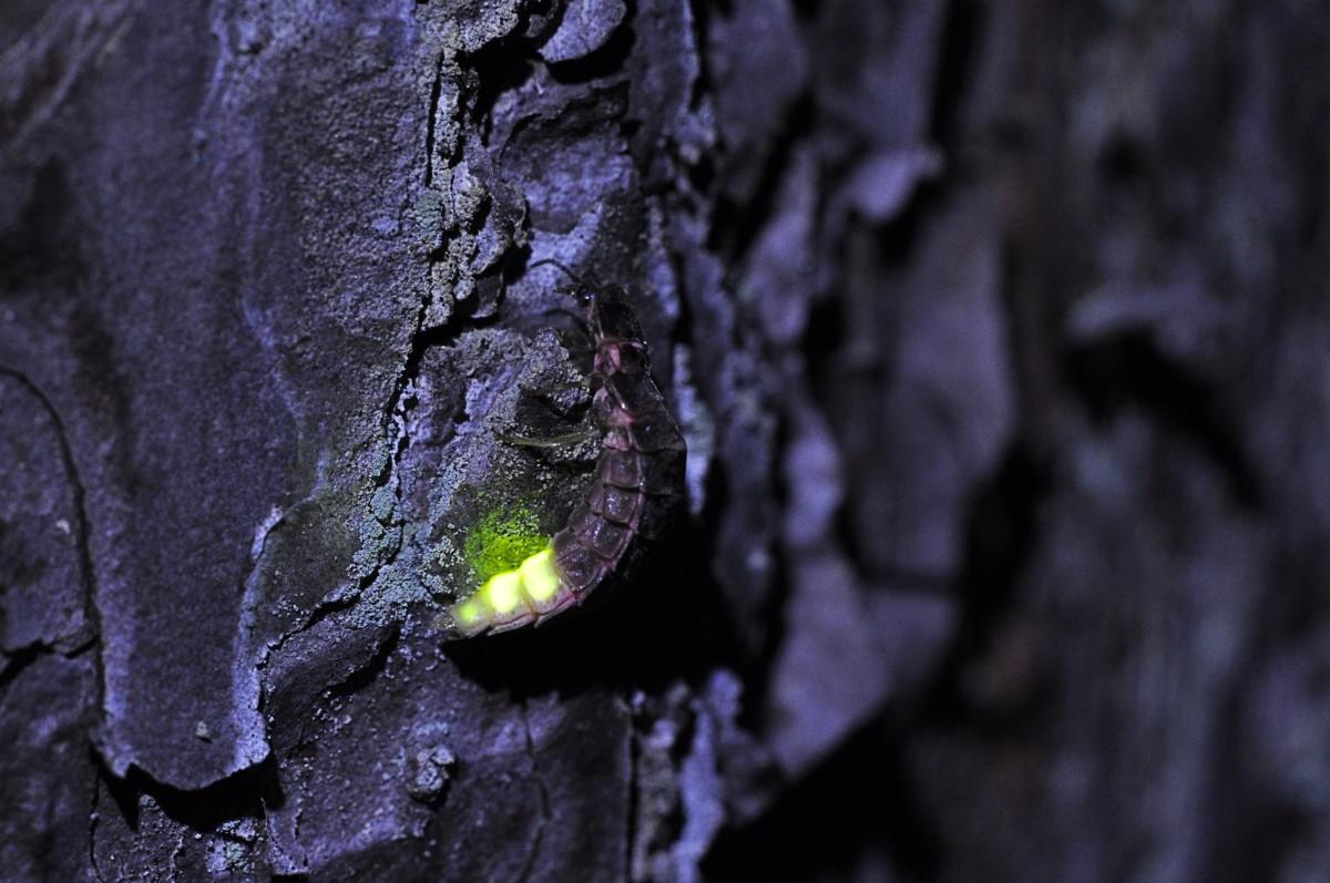 Lampyris noctiluca