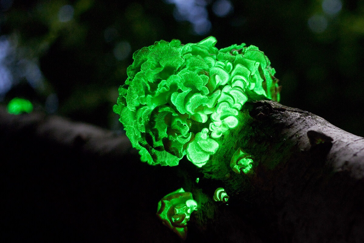 Panellus stipticus, or the bitter oyster fungus, is bioluminescent.