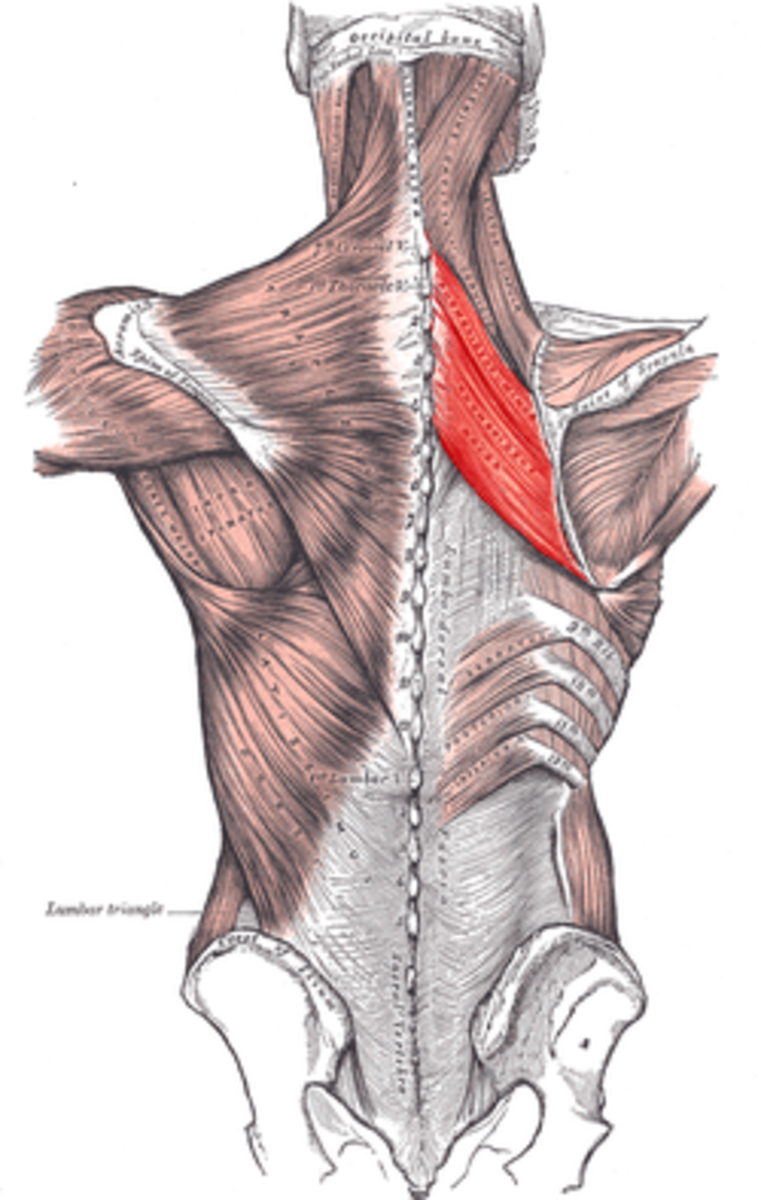 Rhomboid Muscles