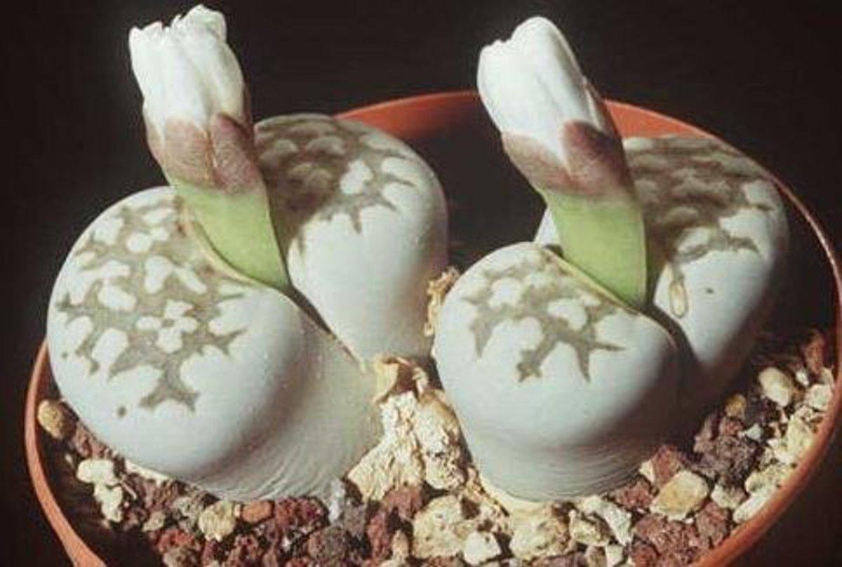 Lithops julii (aka fulleri)