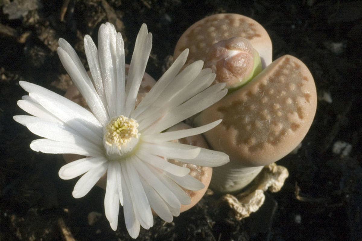 the-lithops