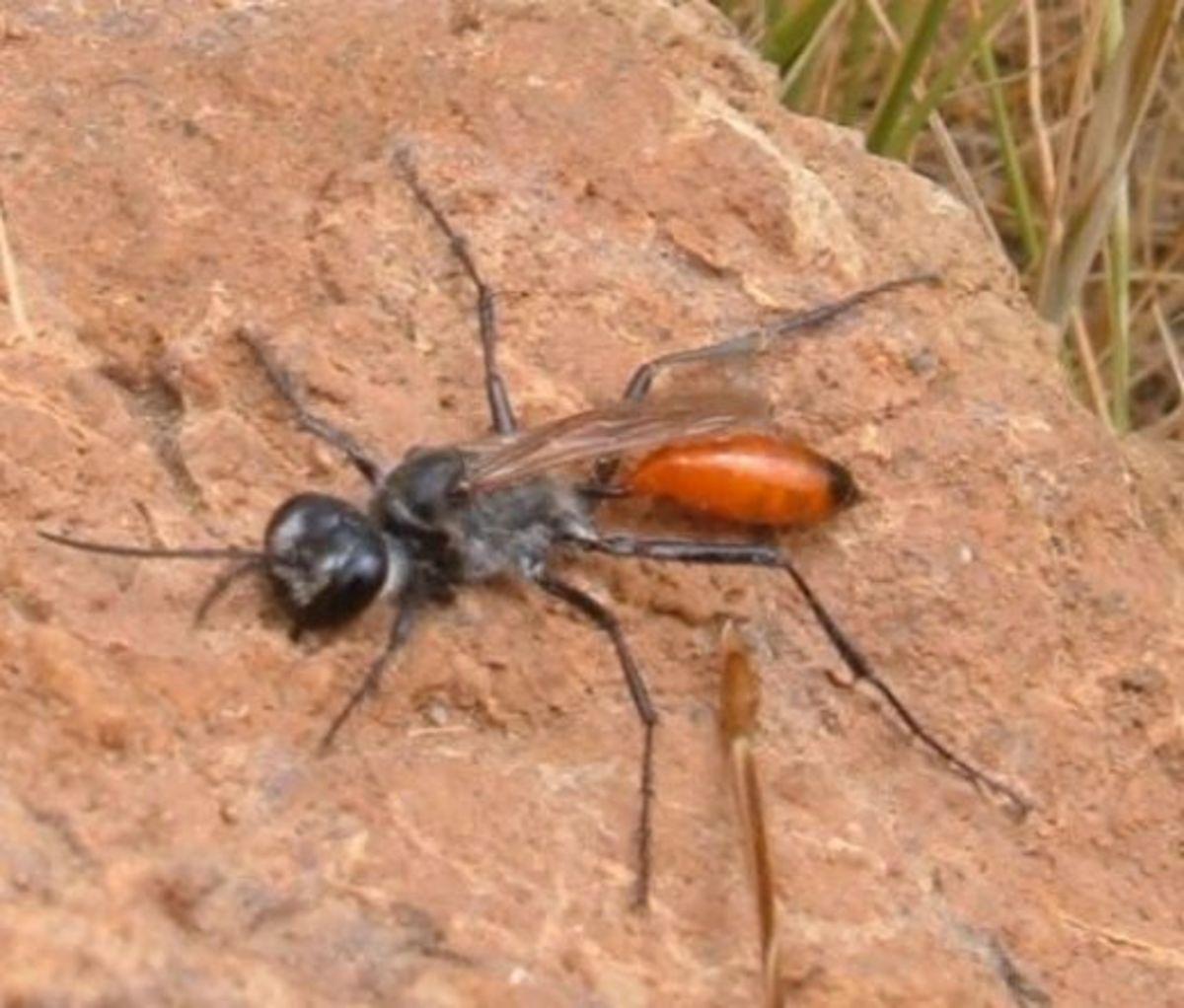 Thread-waisted Wasp (Podolonia tydei). Photo by Steve Andrews