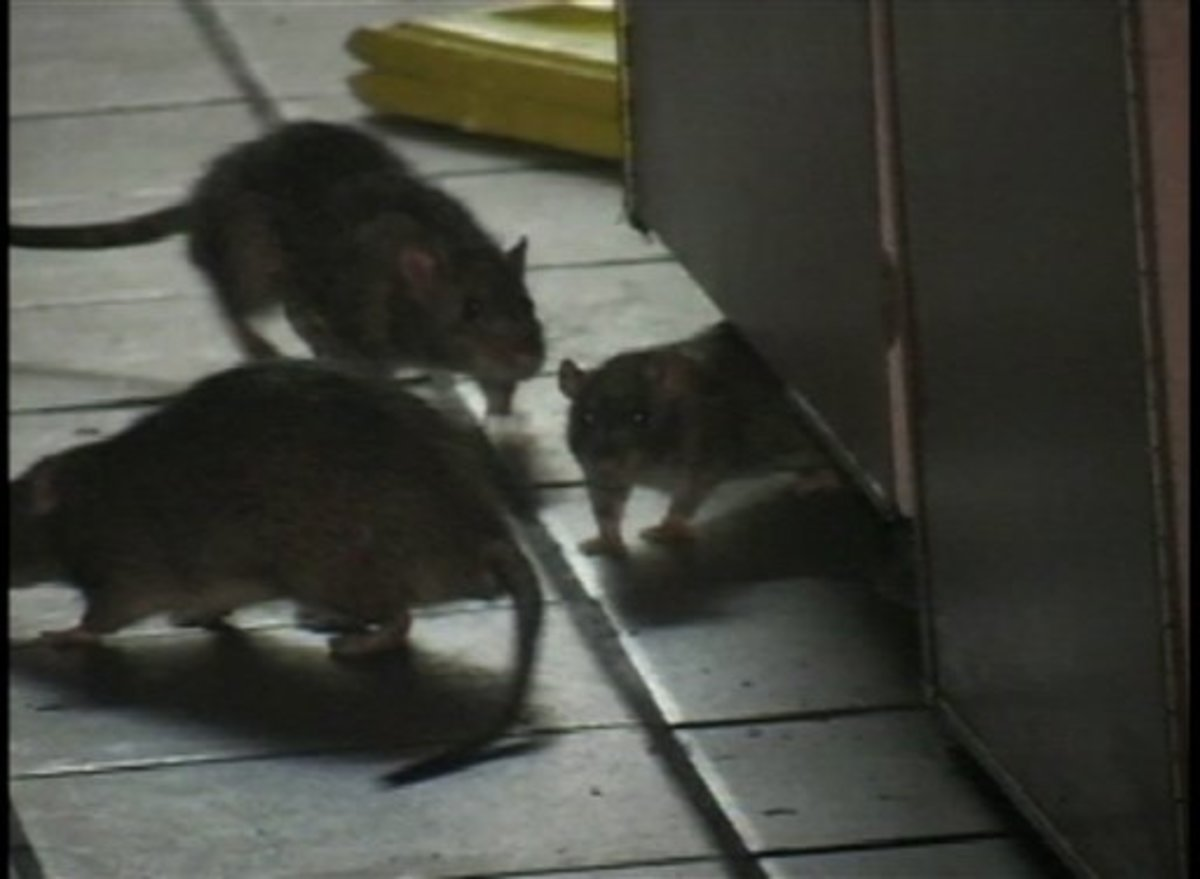 Rodent exterminators can get rid of your pests!