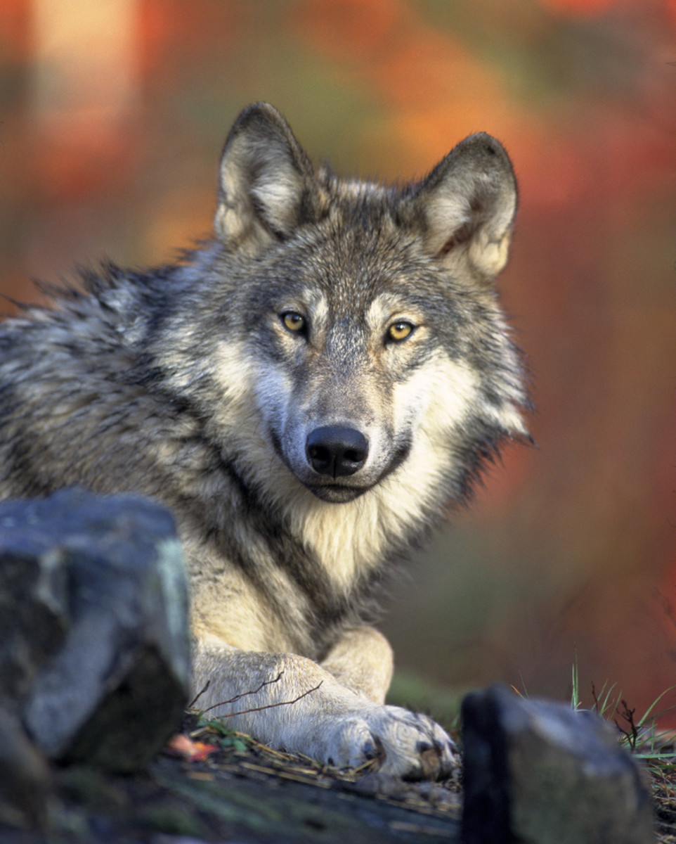 North America Animals Top 10 Endangered Species List