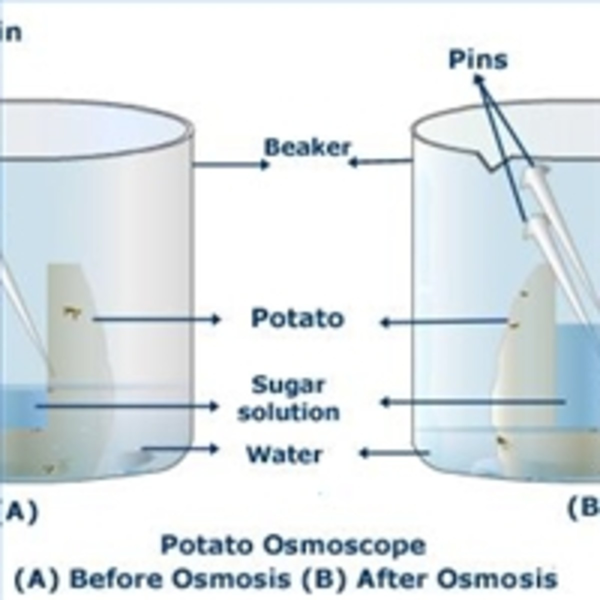 Determination of turgor pressure and study of the process of osmosis