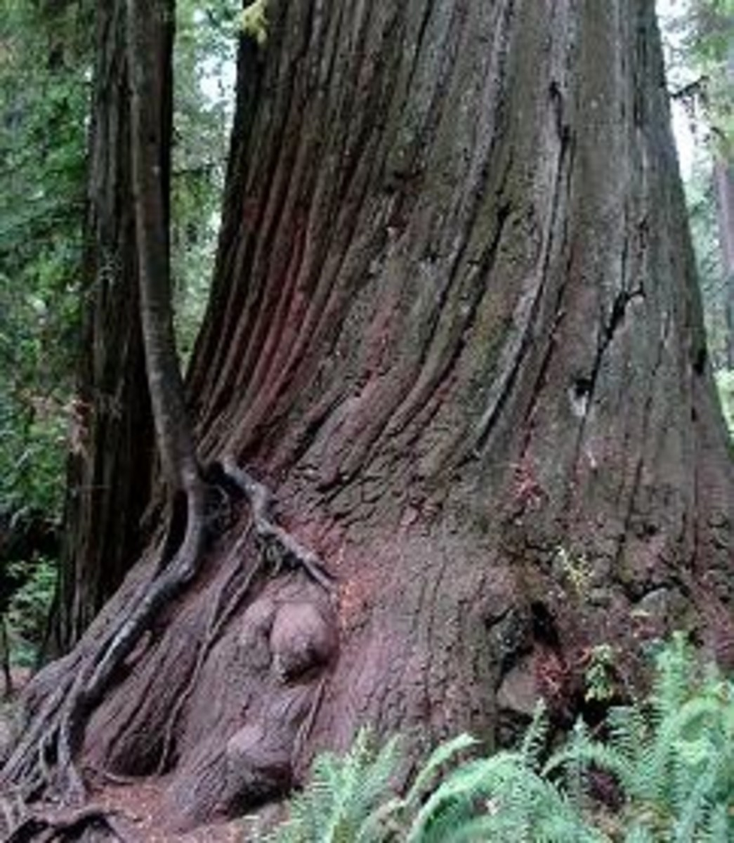 Enderts Beach Redwood