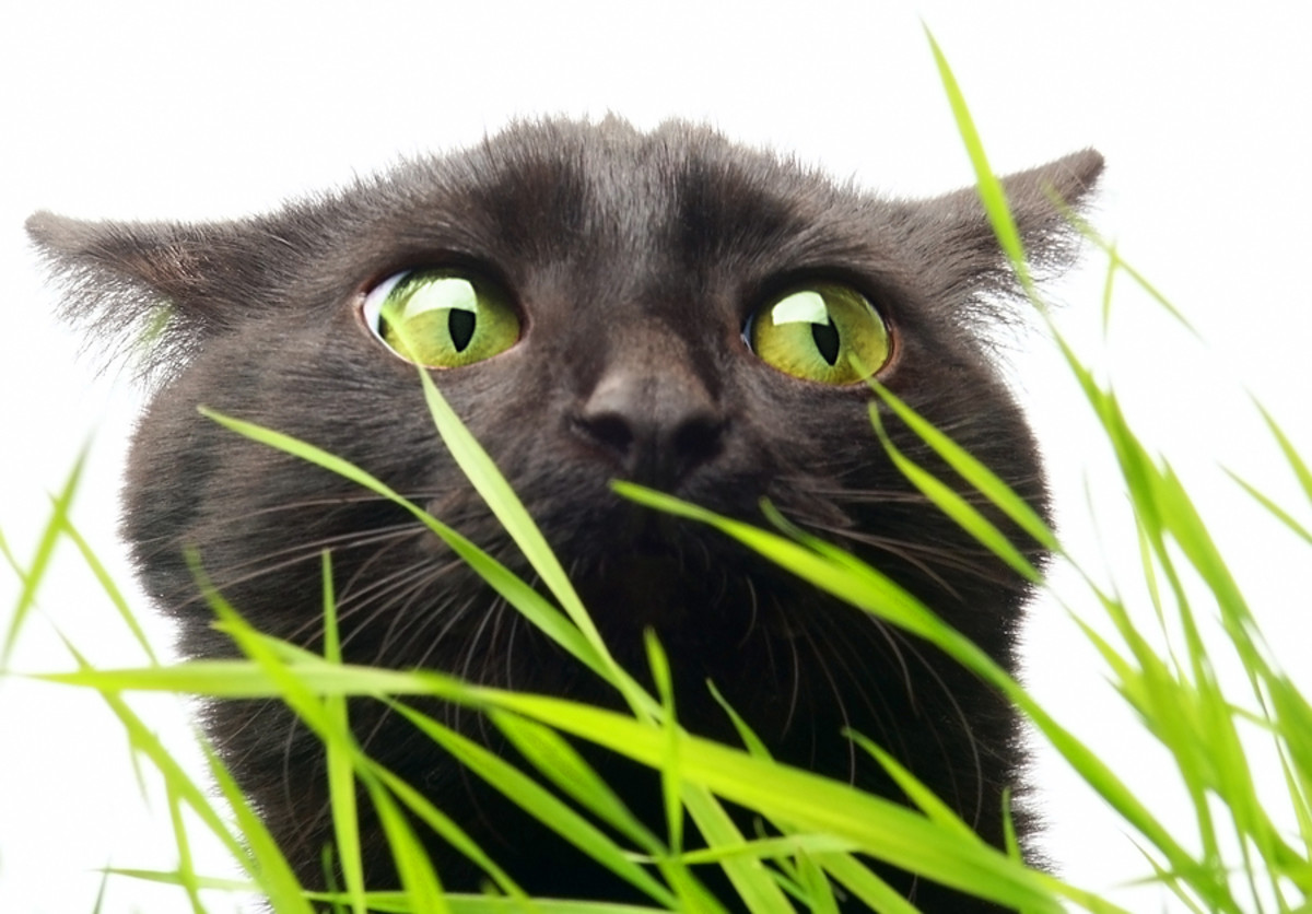 Cats that eat too much grass may throw-up!