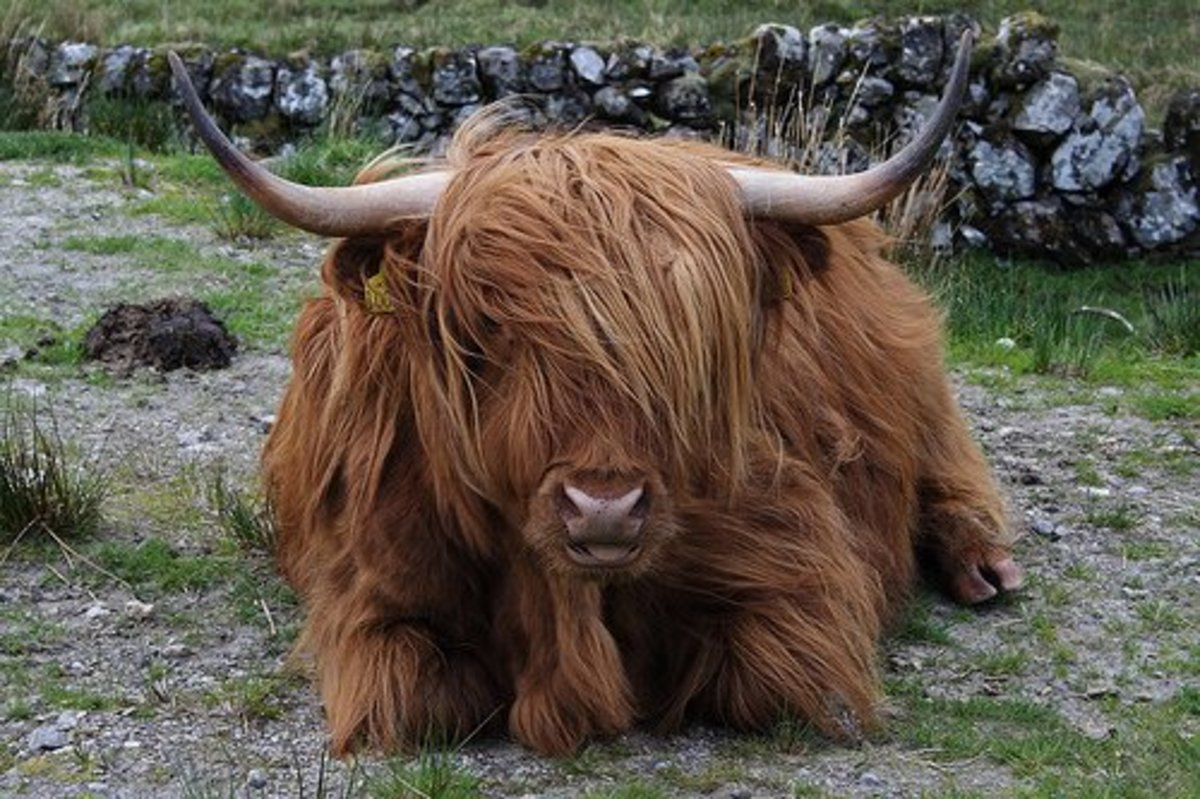 A Scottish Highland Cow Is Not a Yak!