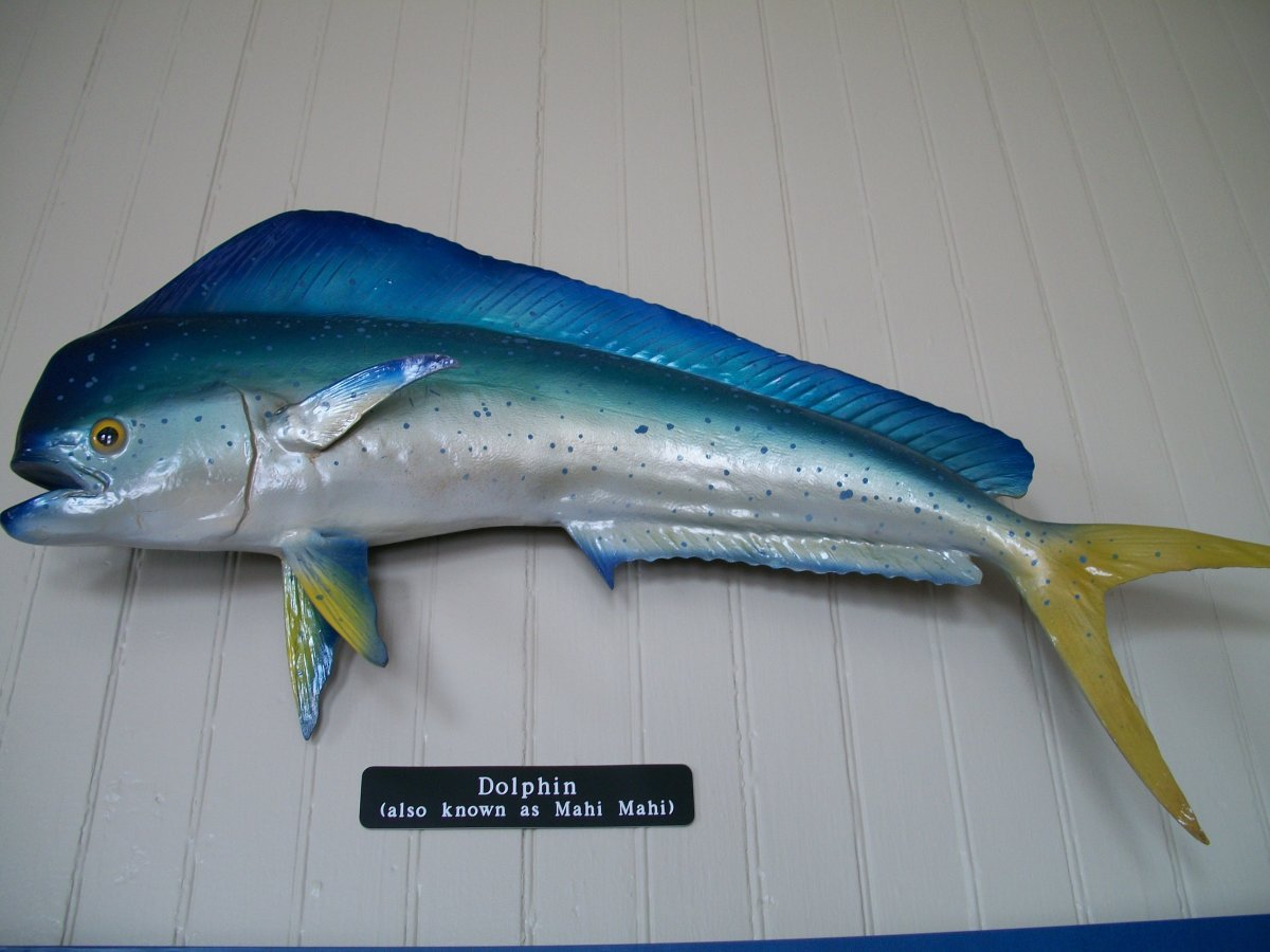 Dolphin fish: light, delicate meat and I'm told he puts up a good fight.