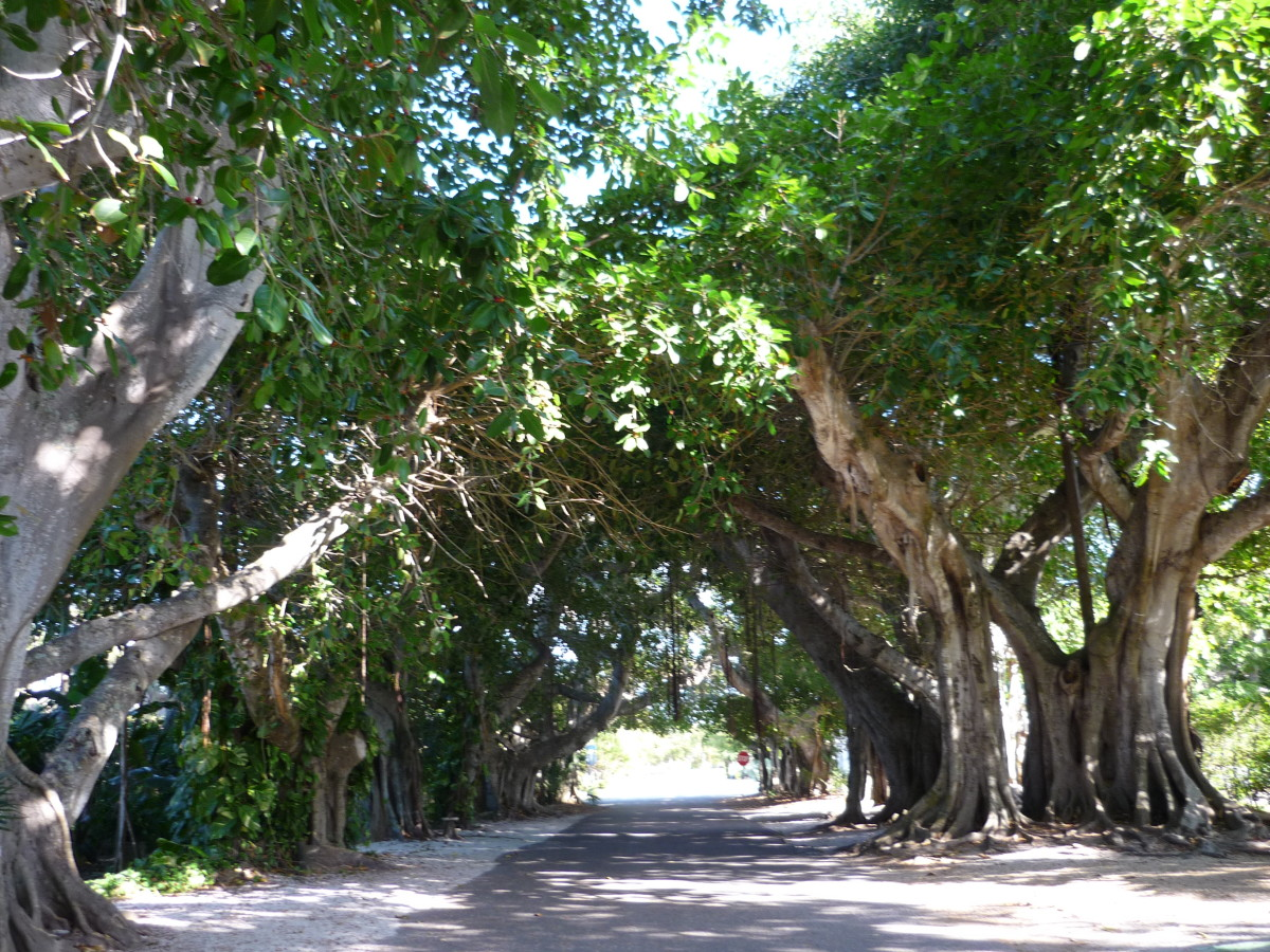 Banyan avenue, appropriately lined with banyan trees.