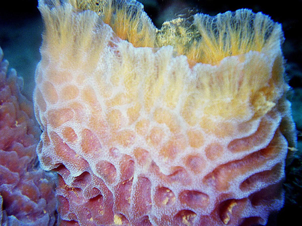Phylum Porifera: Sea Sponge Characteristics, Reproducution and More!
