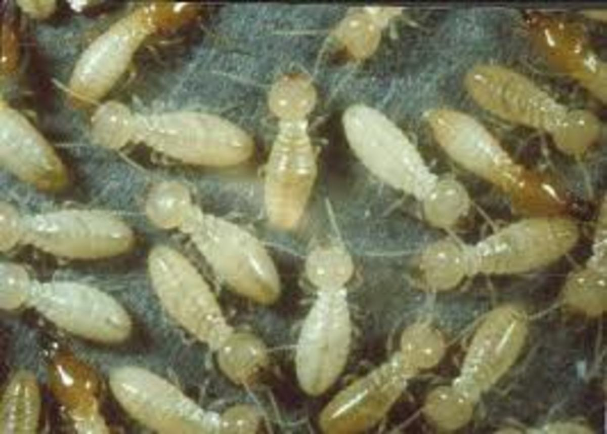 These is how the white ants (termite) look like, they seem so soft and vulnerable that at first sight one would think that they cannot do any damage to anything, that is until one can see what they can do to wooden structures.
