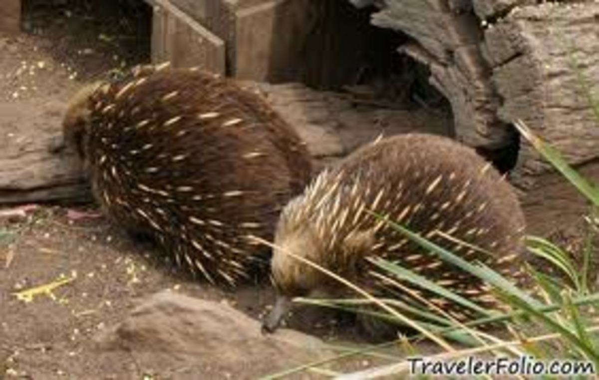 Also this other strange animal the Echidna are ant eaters.