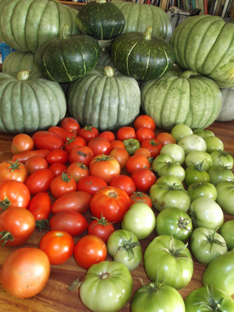 One day's harvest. Ripe tomatoes and green tomatoes for bottling and making sauces. The bigger pumpkins are a 'blue' skinned variety. The smaller ones are a novel heritage type.
