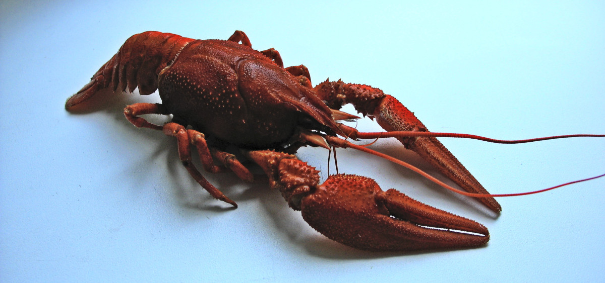 keeping-a-crawfish-as-a-pet