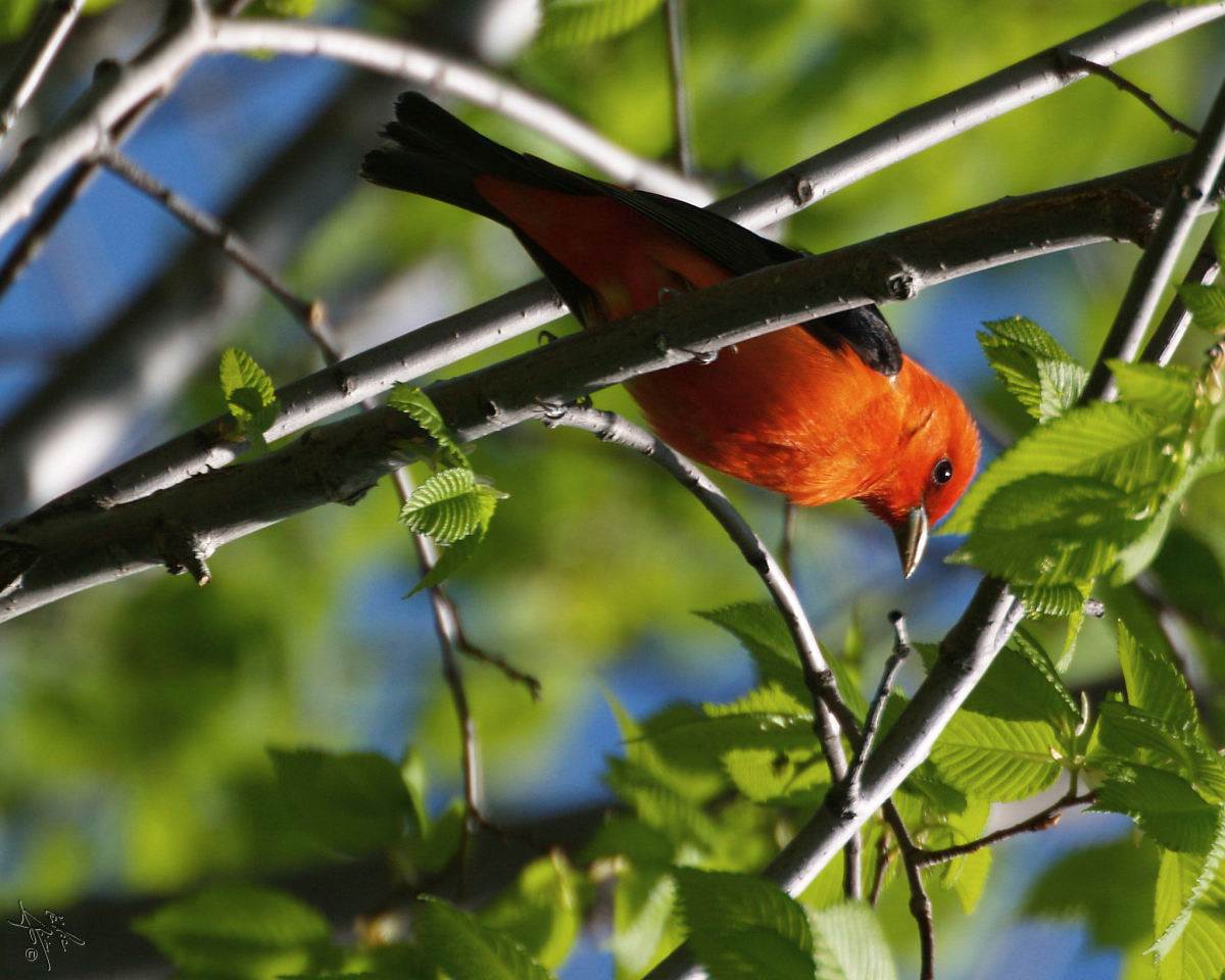 Scarlet Tanagers are also fond of both bugs and fruit.