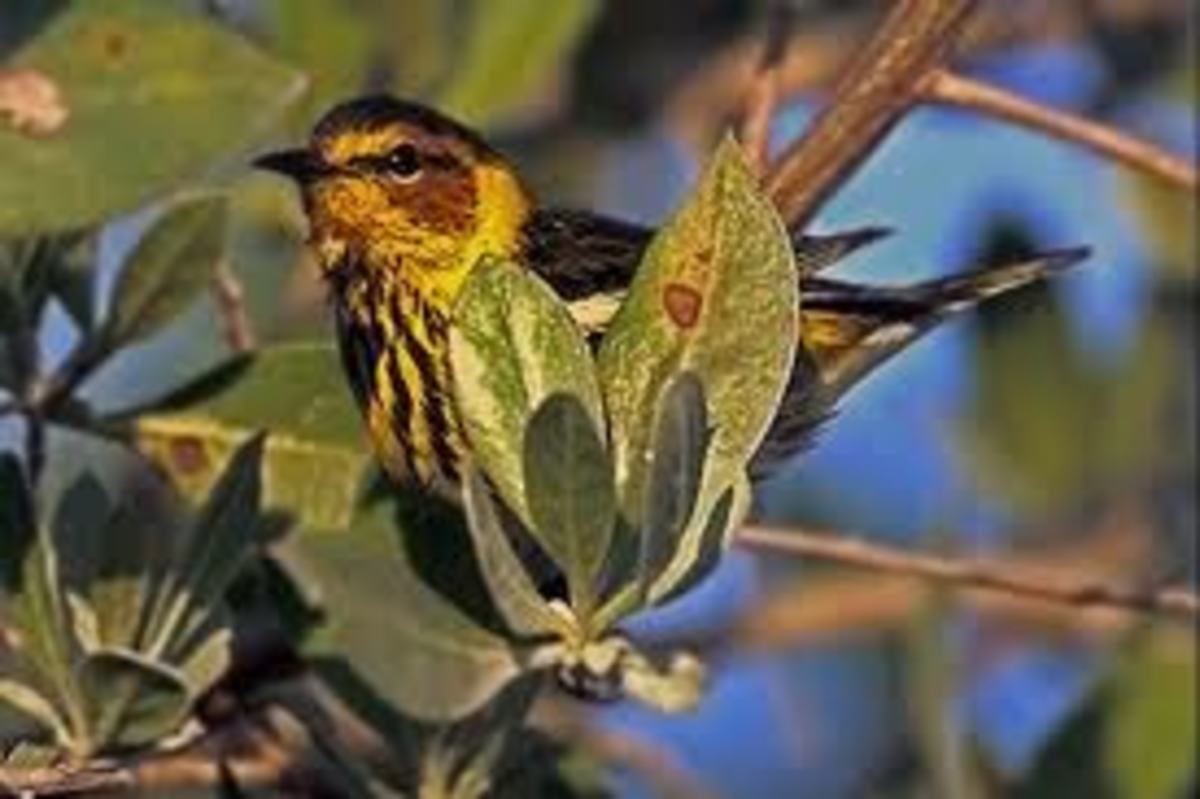 Cape May Warblers are fruit lovers.