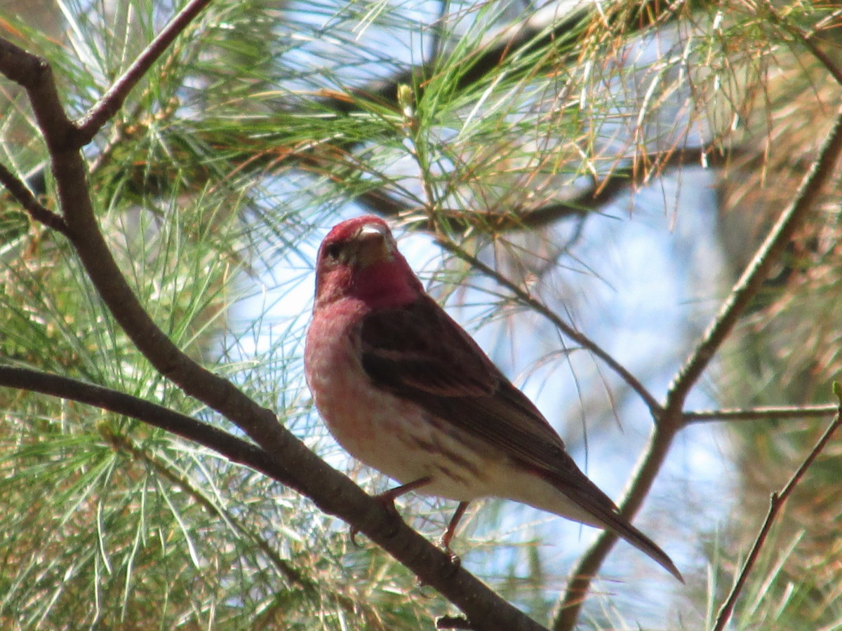Male Purple (Raspberry) Finch enjoying the sunshine in his NYS summer home!