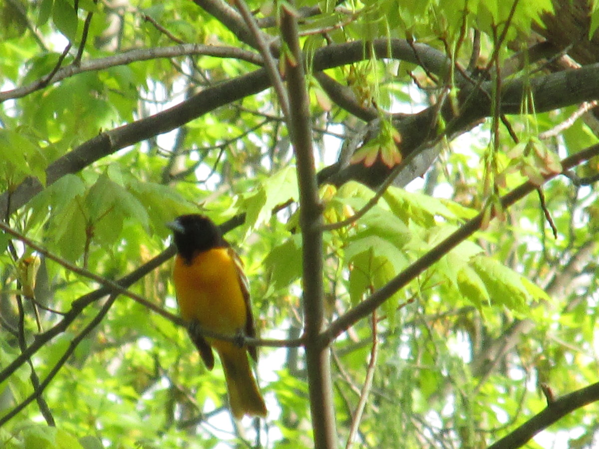 Northern Oriole singing high up in the tree.