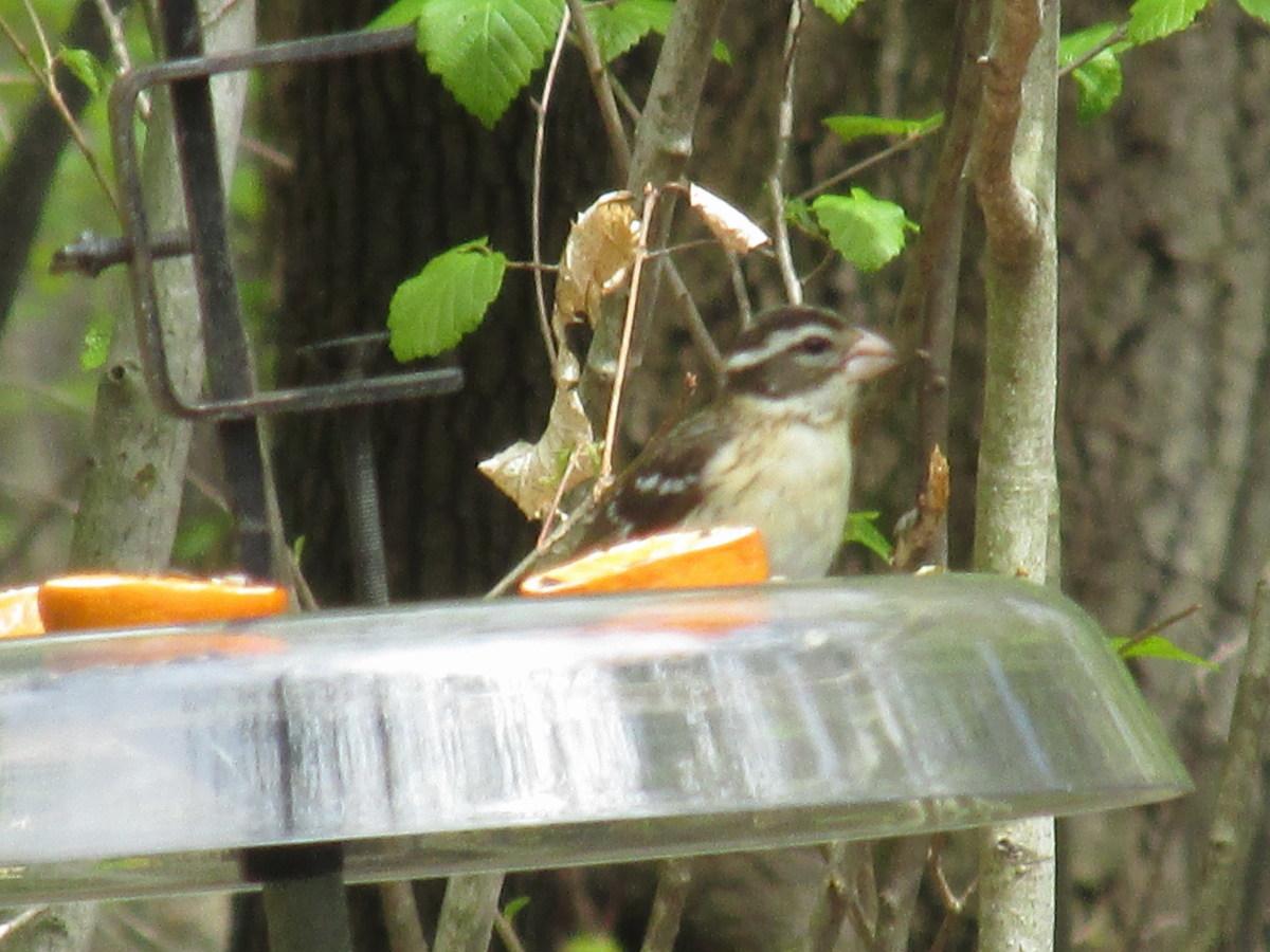 Female Rose-Breasted Grosbeak enjoying seeds, nutmeats and orange halves in seed tray/squirrel guard.