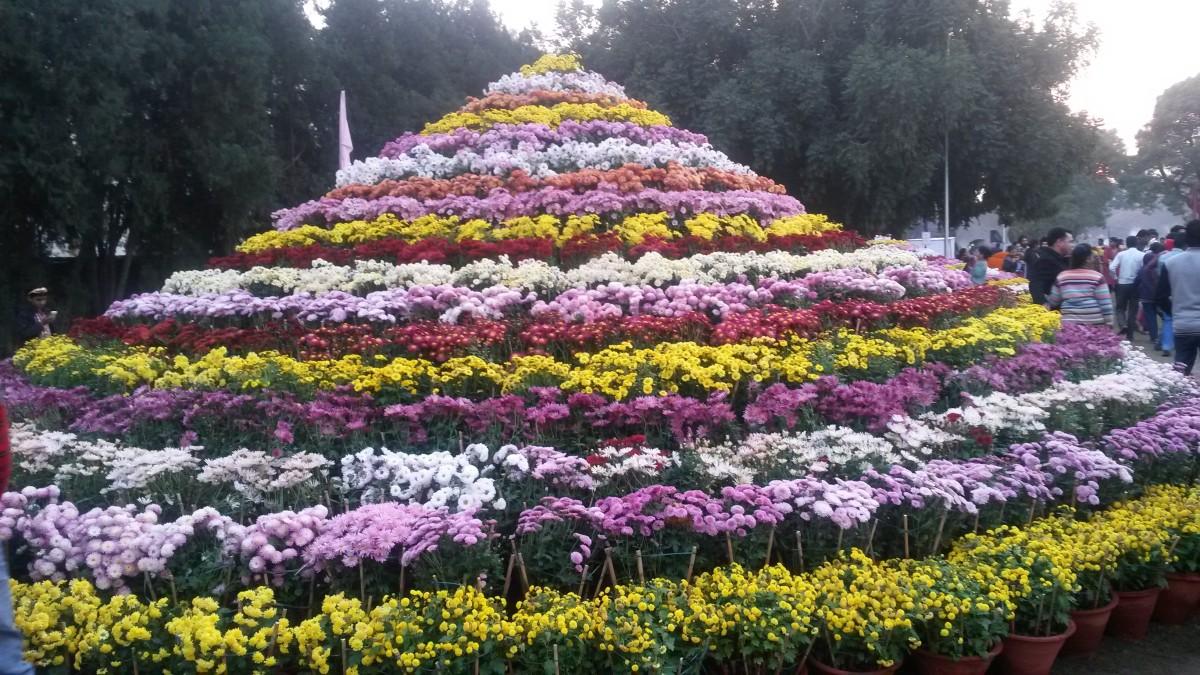 chrysanthemum-show