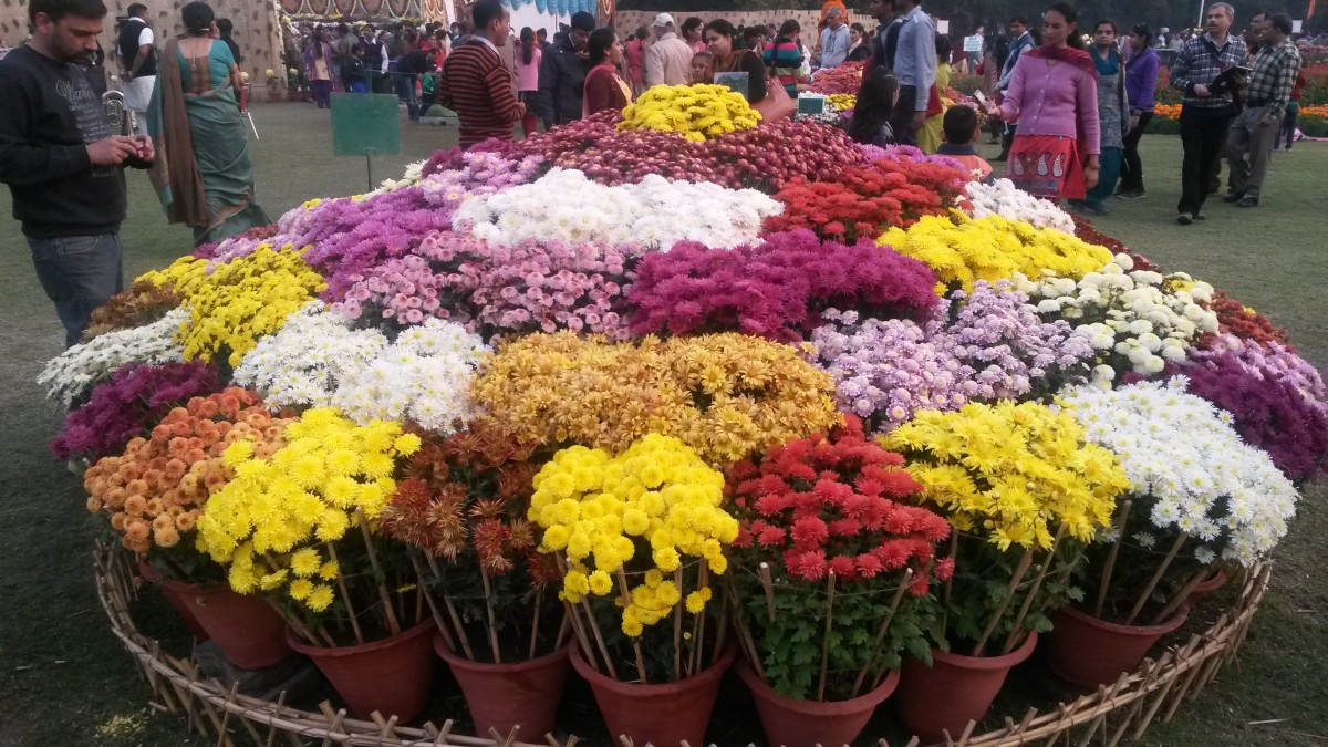 A Visit to Chrysanthemum Flowers Show at Terraced Garden, Chandigarh