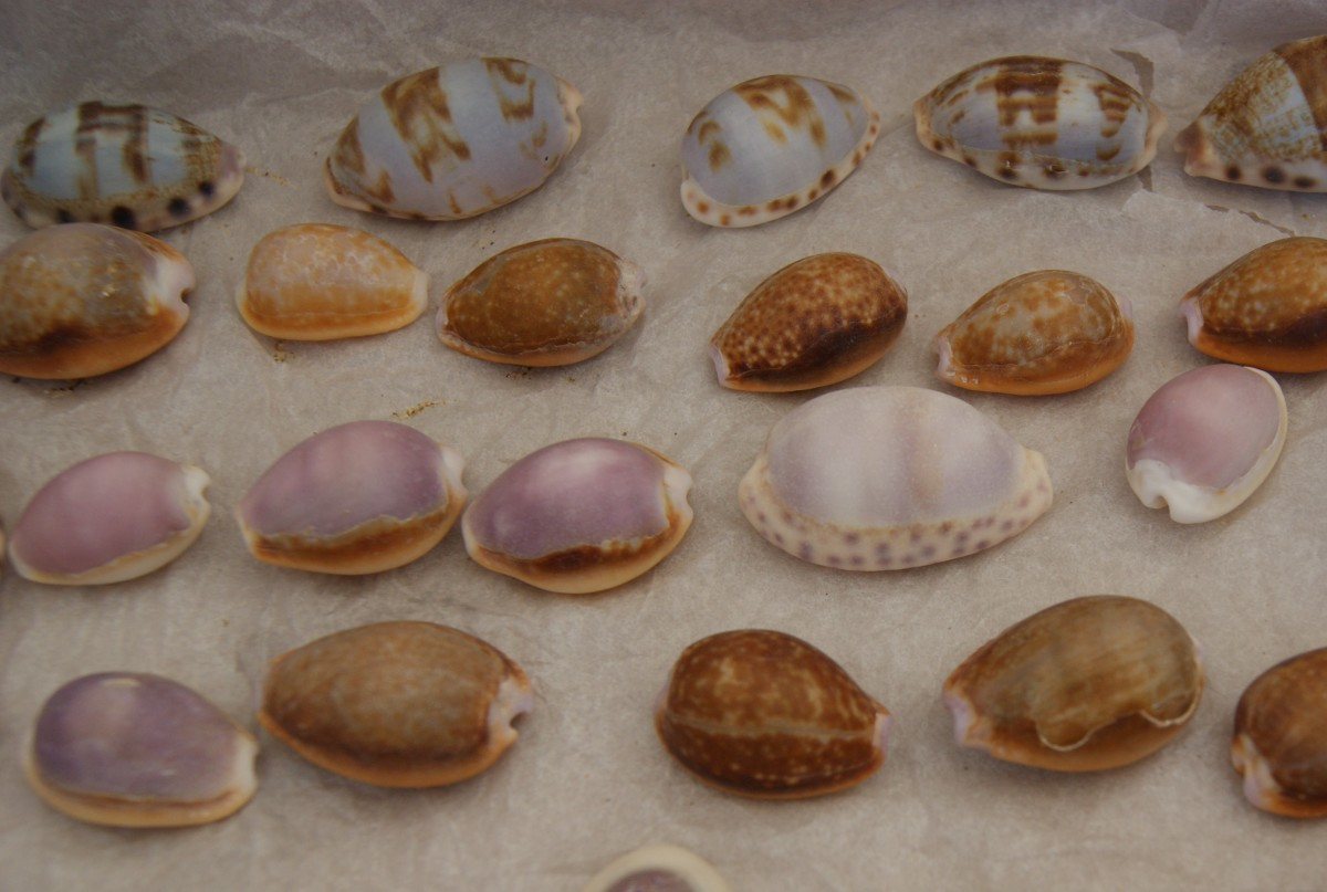 Some new Cowries from Wild Coast, Eastern Cape.